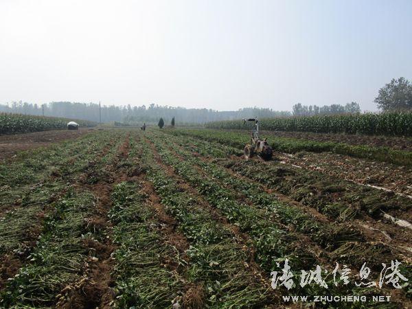 诸城市桃林镇岳戈庄社区农民抓住雨后墒情好的